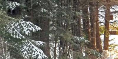 snowing, deer and cedars
