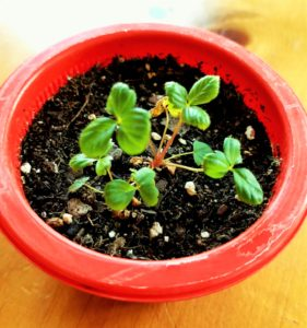 Grow strawberries from seeds.