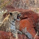 Rhino Wars – Leopards and Spiders